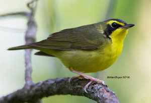 Kentucky Warbler in Sussex County, Virginia