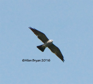 Mississippi Kite over Nottoway River in Sussex County, Virginia