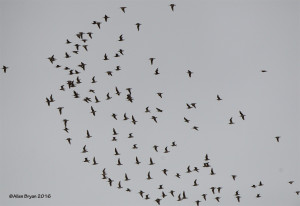 Whimbrel flock in Goochland County, Virginia