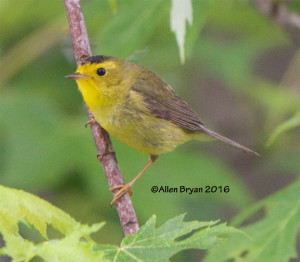 Wilson's Warbler, immature male, in Goochland County, Virginia