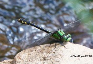 Riffle Snaketail- male
