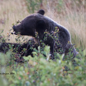 Grizzly Bear chowing down on berries