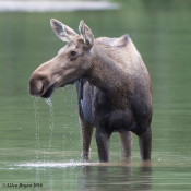 Female Moose in Glacier National Park