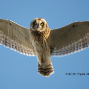 Short-eared Owl from Freezout WMA