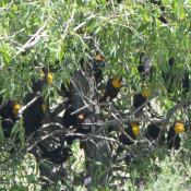 Yellow-headed Blackbirds near Freezout WMA