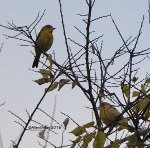 Baltimore Oriole at City Point in Hopewell, Va.