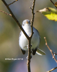 Blue-gray Gnatcatcher from Charles City County, Virginia on November 13, 2016