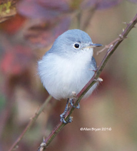 Blue-gray Gnatcatcher in the City of Hopwell on November 20th