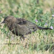 Brewer's Blackbird- female
