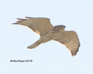 Broad-winged Hawk at ESNWR, Virginia