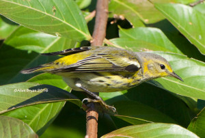 Cape May Warbler in the City of Hopewell on October 15th