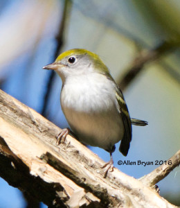 Chestnut-sided Warbler in eastern Henrico County on October 15th
