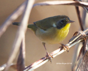 Common Yellowthroat in Charles City County on November 19th
