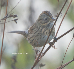 Lincoln's Sparrow in eastern Henrico County, Va. on October 30, 2016