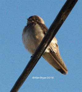 Northern Rough-winged Swallow in the City of Hopewell, Va on November 13, 2016