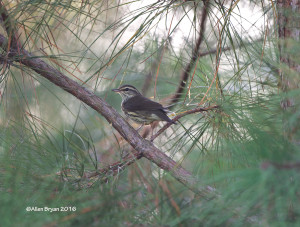 Northern Waterthrush in midst of pine plantation in Charles City County, Virginia