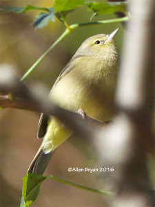 Orange-crowned Warbler (possible lutescens) from City of Hopewell, Virginia on November 13, 2016