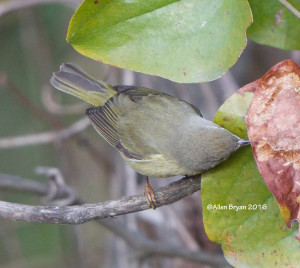 Orange-crowned Warbler in the City of Hopewell on November 20th