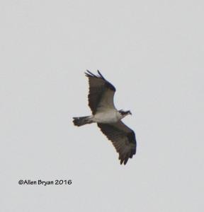 Osprey in Charles City County, Virginia