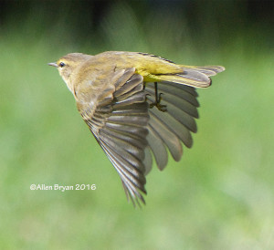 Palm Warbler on the lower end of the eastern shore