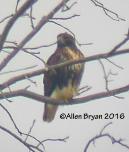 Red-tailed Hawk (albieticola) adult in Charles City County, Virginia