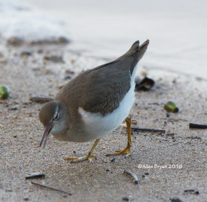 Spotted Sandpiper in the City of Hopewell on October 15th.