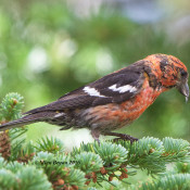 White-winged Crossbill- Glacier National Park, Montana