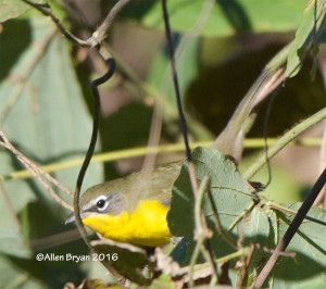 Yellow-breasted Chat in the City of Hopewell, Virginia on November 5, 2016