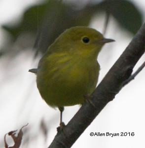 Yellow Warbler from Hopewell, Virginia
