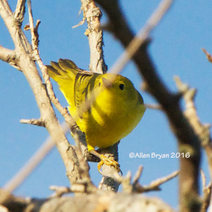 Yellow Warbler in the City of Hopewell on October 15th