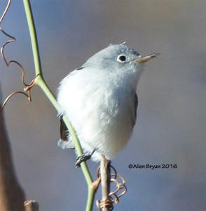 Blue-gray Gnatcatcher in Hopewell, Va