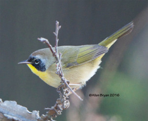 Common Yellowthroat at Dutch Gap, Chesterfield County, Va.