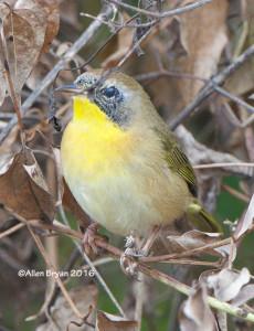 Common Yellowthroat in Charles City County, Va