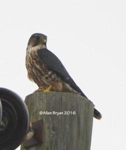 Merlin in Charles City County, Va.