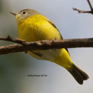 Nashville Warbler in the City of Hopewell, Va.