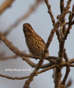 Purple Finch in Charles City County, Va.