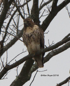 Red-tailed Hawk (albieticola) @ Powhatan State Park