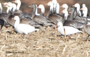 Ross's Goose with a possible hybrid(?) in eastern Henrico County, Va.