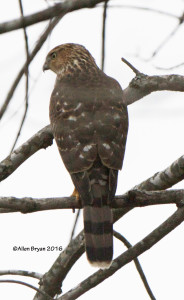 Sharp-shin Hawk @ Powhatan State Park
