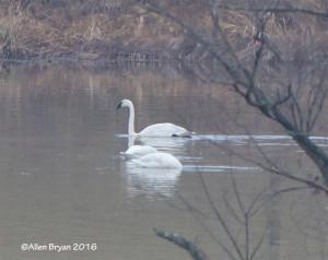 Trumpeter Swan in Louisa County, Va