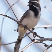Black-throated Sparrow in n.w. Hidalgo County, Texas