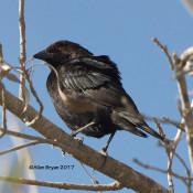 Bronzed Cowbird from Progresso Lakes Grain Silos, Texas
