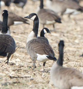 Cackling Goose in eastern Henrico County, Va.