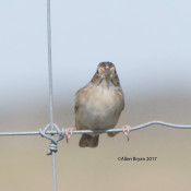 Cassin's Sparrow in n.w. Hidalgo County, Texas