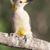 Golden-fronted Woodpecker at Salineno feeding station, Texas