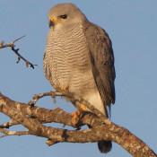 Gray Hawk at Bentsen-Rio Grande State Park, Texas