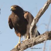 Harris's Hawk in n.w. Hildalgo County, Texas