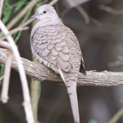 Inca Dove at Santa Ana NWR, Texas