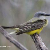 Tropical Kingbird at Estero Llano Grande State Park, Texas