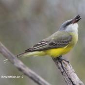 Tropical Kingbird eating beetle at Estero Llano Grande State Park, Va.